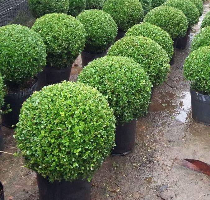 Como Cultivar Buxinho Lindo Arbusto