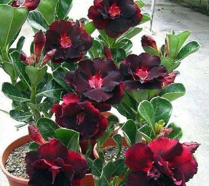 Planta Que Produz as Flores Mais Linda do Mundo
