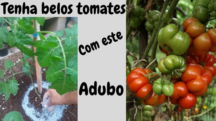 Tenha Lindos Tomates com este Adubo