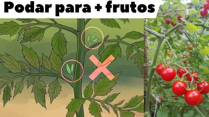Como e Por que Podar Tomateiros?