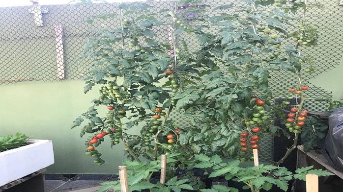 Tomate em Vasos: Até Quando Devo Deixar o Pé Crescer para ter Tomates Grandes